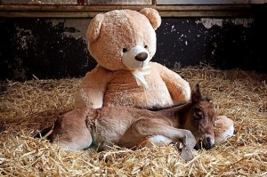 Teddy Bear and Foal2